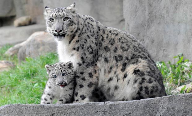 Snow Leopard: the species which will go extinct soon